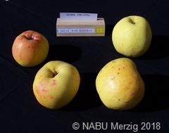 Gelber Edelapfel aus dem Apfelsortengarten  b