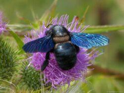 Blauschwarze-Holzbiene