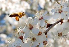Bienen-Bestäubung Wild-Mirabellenbaum